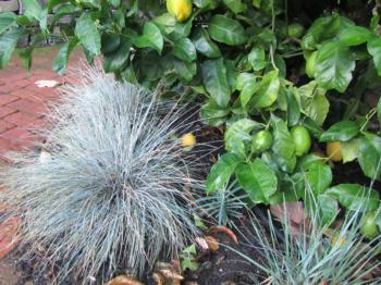 Spiky blue fescue grasses contrast with large green citrus leaves. (Photo: Marie Narlock)