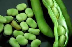 Fava Beans, cultivated since Antiquity