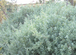 native shrubs article photo - atriplex