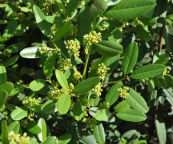 native shrubs article photo - rhamnus