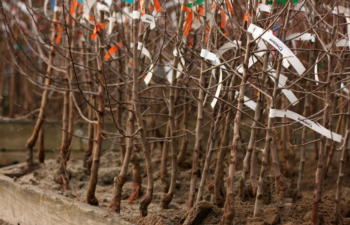 Like fruit trees, bare root roses are available in nurseries in winter