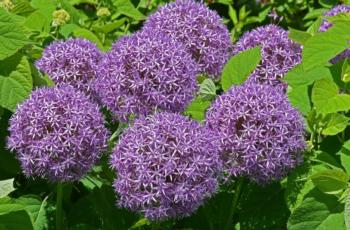 Alliums feature pom pom flowers – some varieties are short and sweet, others have softball-sized globes atop 3 feet stems.  photo: GardenSoft