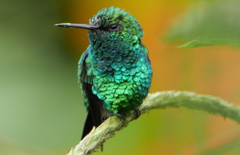 Hummingbird colors arise from microscopic feather structure, not from pigment, which is why their color changes.  Photo: Caterina Sanders, Unsplash