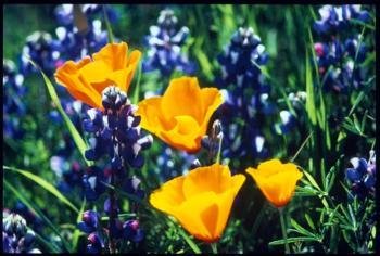Poppy lupine