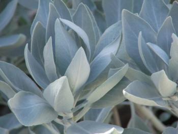 The silky white beauty of Salvia apiana. (Photo courtesy of Las Pilitas Nursery)