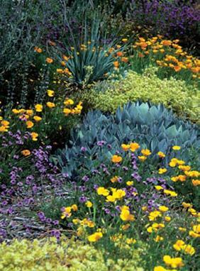 Flowering bright green Dudleya virens, ssp. hassei (dudleya), and Nolina parryi ssp. wolfii (bear grass)