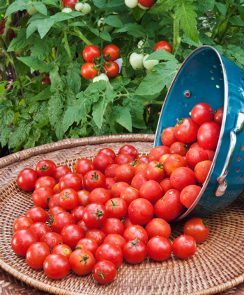 Gardening Tips - Baby Your Tomatoes