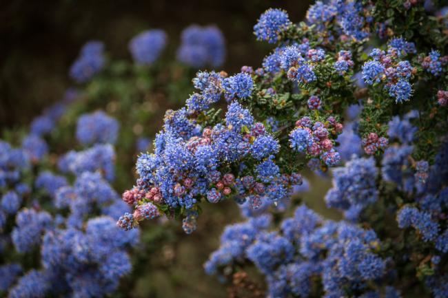 California lilac blossoms – Karen Gideon