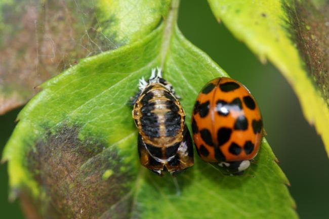 Lady Bugs – Don Chapman