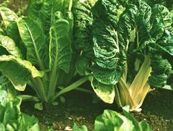 Growing in Your Garden Now - Swiss Chard