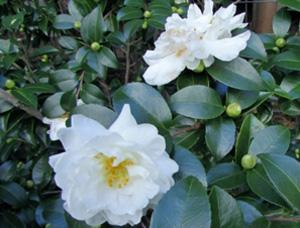 Camellia sasanqua 'White Doves'  Photo: GardenSoft