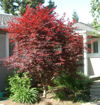 'Bloodgood' Japanese maples make beautiful accent  trees for entrances and other focal points.  Photo: GardenSoft