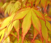 Japanese maple - yellow