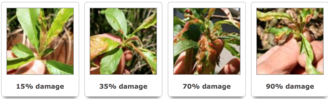 peach leaf curl stages of damage