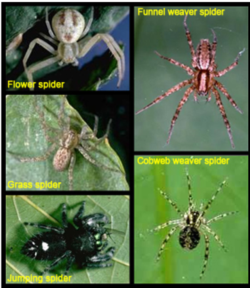 Spiders are predators who consume insects &even other spiders. Some snag prey in webs; others stalk their prey by pouncing on them. Photo: UC Regents