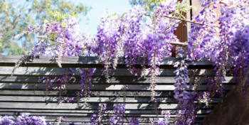 wisteria on fence